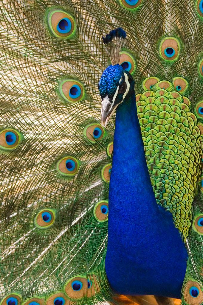 eye feather