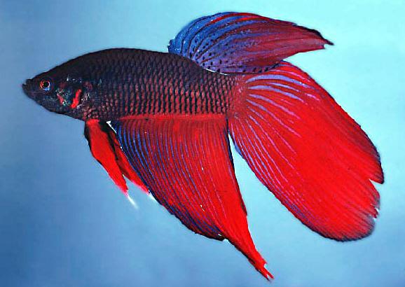 Terri farley for Japanese fighter fish